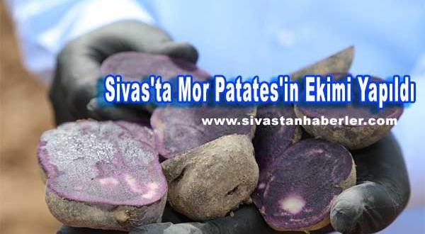 Sivas'ta Mor Patates'in Ekimi Yapıldı
