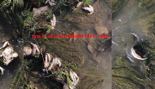 Kızılırmak'ta Balık Ölümleri Vatandaşları Tedirgin Etti